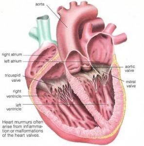 Шум в сердце