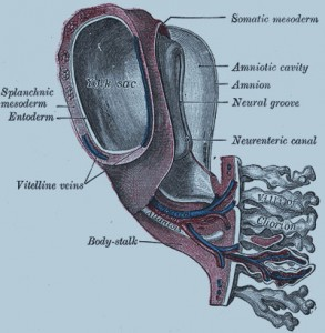 модель человеческого эмбриона 1,3 мм