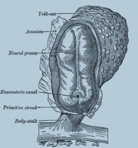 Человеческий эмбрион длиной, 2 мм. Вид сверху