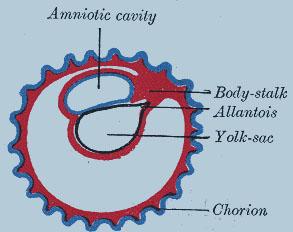 Диаграмма, иллюстрирующая скорейшее формирование аллантоиса