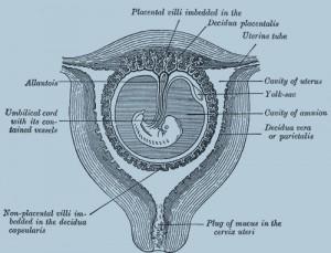 секционный план беременной матки в третьем и четвертом месяце
