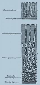 Схематическое участки слизистой оболочки матки: А. - небеременная матка Б - беременная матка, видно утолщение слизистой оболочки и измененные состояния маточных желез.
