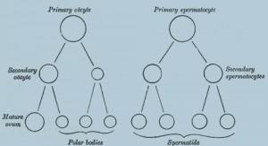 схема, показывающая аналогии в процессе созревания яйцеклетки и развития сперматид (молодые сперматозоиды)